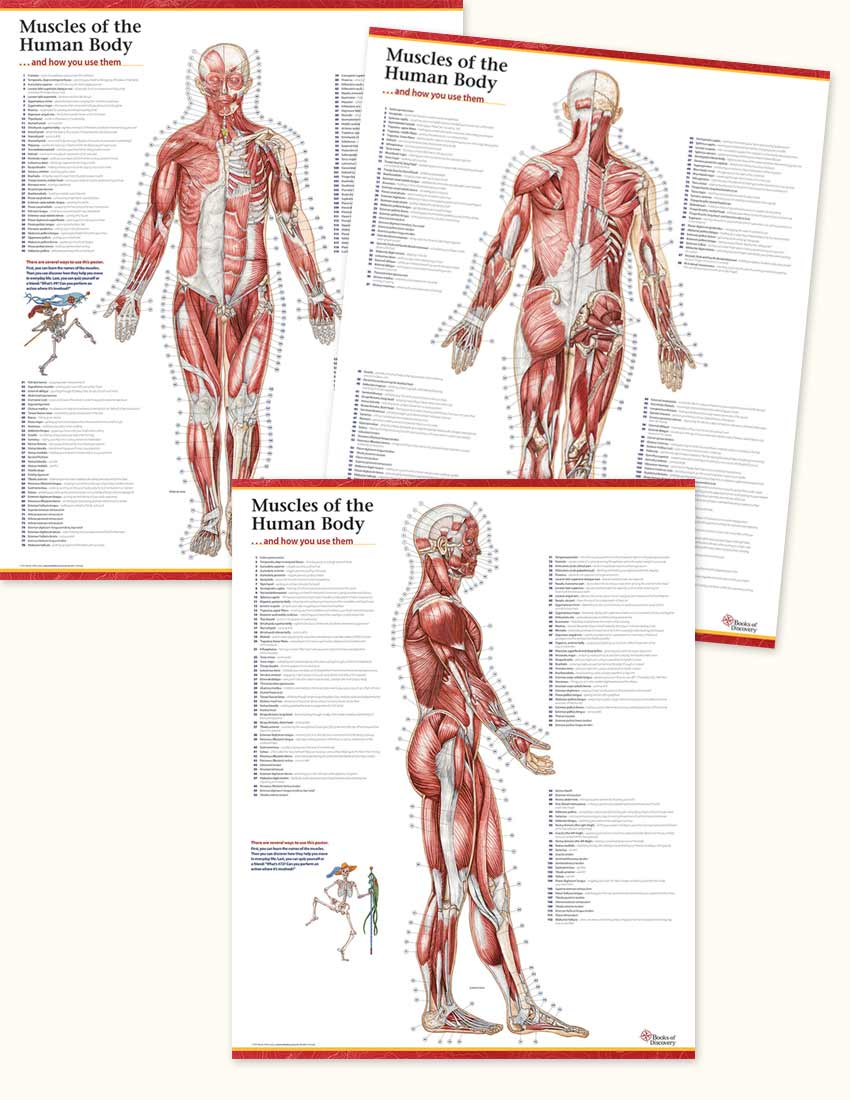 Trail Guide to the Body\'s Muscles of the Human Body - 3 Poster Set ...