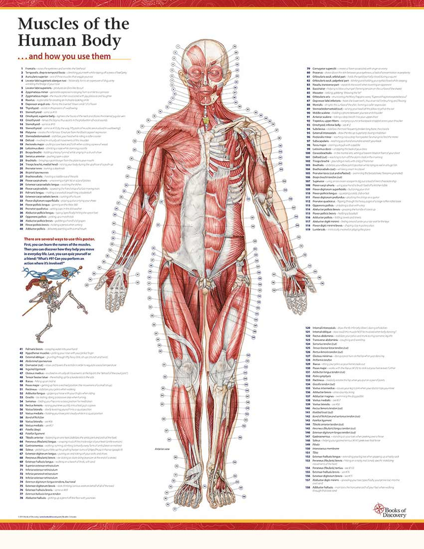 Trail Guide To The Bodys Muscles Of The Human Body Poster