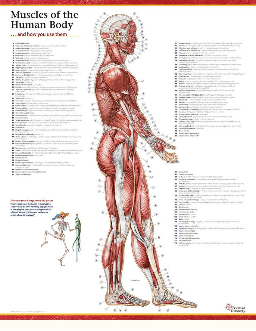 Trail Guide To The Bodys Muscles Of The Human Body 3 Poster Set