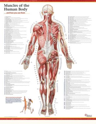 Trail Guide to the Body\'s Muscles of the Human Body poster ...