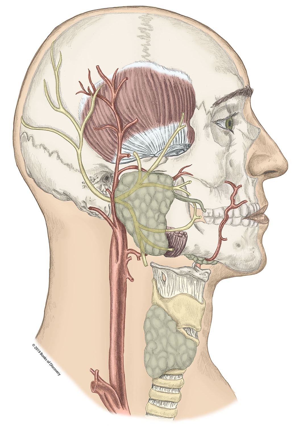 Muscles Of The Head Neck U0026 Face Manual Guide